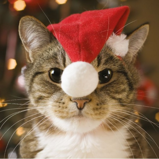 Christmas Cat Ling Design Photographic Art Charity Christmas Pack of 6 Cards