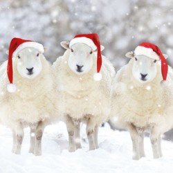 Three Sheep in Snow Photo Finish Xmas Charity Christmas Cards Pack (6 Cards,1 Design)