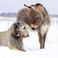 Donkey & Dog in Snow Photo Finish Xmas Charity Christmas Cards Pack (6 Cards,1 Design)