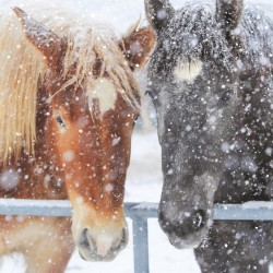 Horses in Snow Photo Finish Xmas Charity Christmas & New Year Cards Pack (6 Cards,1 Design)