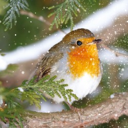 Robin in Snow Photo Finish Seasons Greetings Xmas Charity Christmas Cards Pack (6 Cards,1 Design)