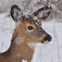 Fawn Baby Deer in Snow  Photo Finish Xmas Charity Christmas Seasons Greetings Cards Pack (6 Cards,1 Design)