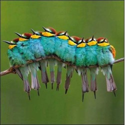 Beautiful Bee-Eaters - Blank Greeting Card - Gloss Photo Finish From RSPB