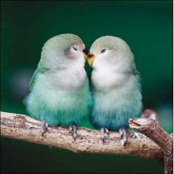 Lovebirds - Blank Greeting Card - Gloss Photo Finish From RSPB