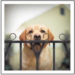 Watson The Sleuth Moustached Labrador - Blank Greeting Card - From Loose Leashes