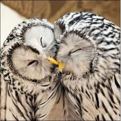 Cute Ural Owls - Blank Greeting Card - Gloss Photo Finish From RSPB