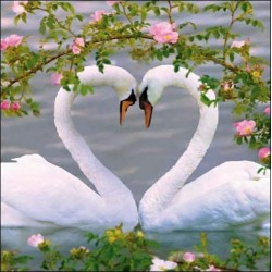 Love Heart Mute Swans - Blank Greeting Card - Gloss Photo Finish From RSPB