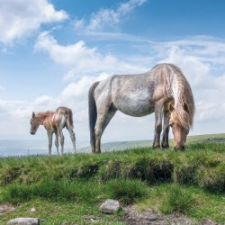 Welsh Mountain Pony and Foal BBC Countryfile Range Blank Greeting Card