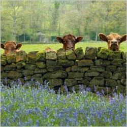 Cattle and Bluebells in Nidderdale BBC Countryfile Range Blank Greeting Card