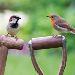 European Robin and House Sparrow BBC Springwatch Range Blank Greeting Card